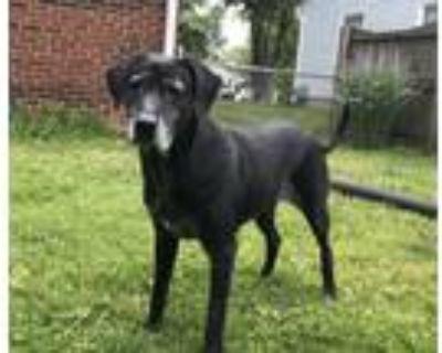 Adopt Lorrie a Labrador Retriever