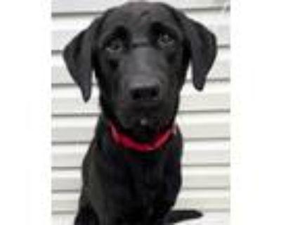 Adopt Champ a Labrador Retriever