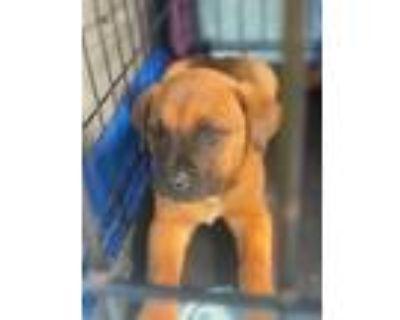 Adopt Champ a Red/Golden/Orange/Chestnut - with Black Boxer / Labrador Retriever