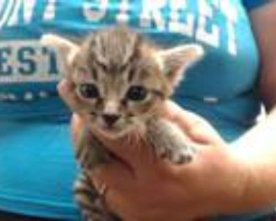 Adopt CHARLIE a Brown Tabby Domestic Shorthair / Mixed (short coat) cat in