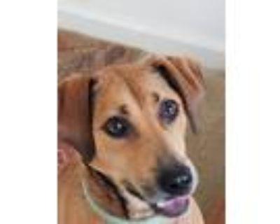 Adopt Canela a Tan/Yellow/Fawn Shepherd (Unknown Type) / Rhodesian Ridgeback /