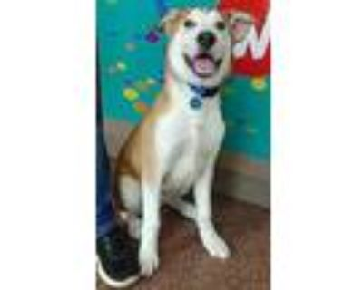 Adopt Niffler a Red/Golden/Orange/Chestnut Husky / Mixed dog in New Albany