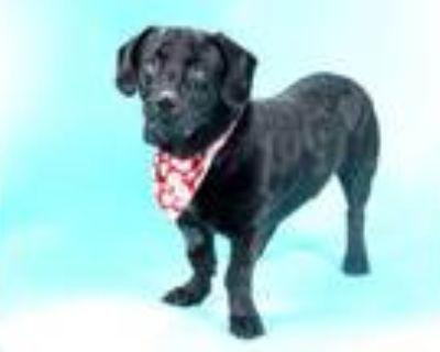 Adopt BO a Basset Hound, Labrador Retriever