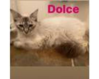 Adopt Dolce a Tiger Striped Siamese / Mixed cat in Westminster, CA (31966091)