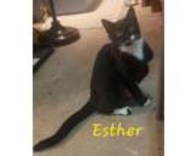 Adopt Esther a Tuxedo, American Shorthair