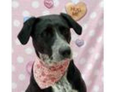 Adopt Leela a German Shorthaired Pointer, Labrador Retriever