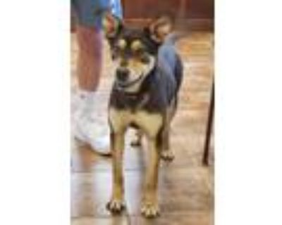 Adopt Shanna a Black - with Tan, Yellow or Fawn Shepherd (Unknown Type) / Mixed
