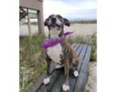 Adopt Becky a Brindle - with White Plott Hound / Boxer / Mixed dog in Roswell