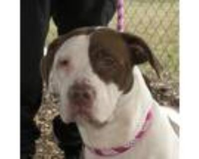 Adopt Nelly a White - with Brown or Chocolate Pit Bull Terrier / Mixed dog in