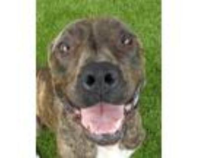 Adopt Brindy a Mastiff, Treeing Walker Coonhound