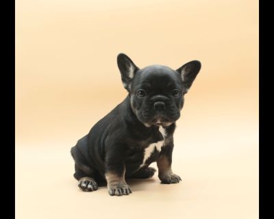 French Bulldog Puppies fluffy carrier