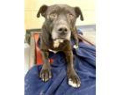 Adopt SPUMONI a Labrador Retriever, Mixed Breed
