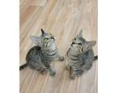Adopt Caper and Beep a Domestic Short Hair