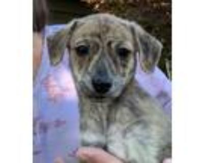 Adopt Ivy a Brindle Terrier (Unknown Type, Small) / Poodle (Miniature) / Mixed