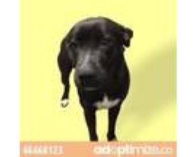 Adopt 46468123 a Black Labrador Retriever / Mixed dog in El Paso, TX (31435971)
