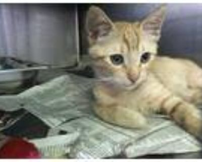 Adopt GELATO a Orange or Red Tabby Domestic Shorthair / Mixed (short coat) cat