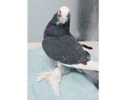 Hypatia, Pigeon For Adoption In Elizabeth, Colorado
