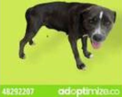 Adopt 48292207 a Gray/Blue/Silver/Salt & Pepper American Pit Bull Terrier /