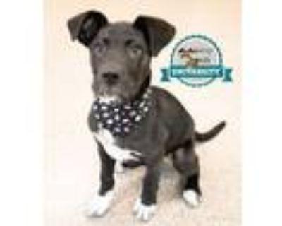 Adopt Cunningham a Labrador Retriever, Shepherd