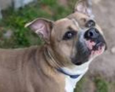 Adopt Bruce Banner a Mixed Breed (Large) / Pit Bull Terrier / Mixed dog in