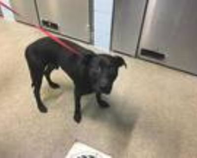Adopt CLYDE a Black American Pit Bull Terrier / Mixed dog in Fort Myers