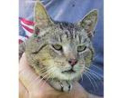 Adopt Whiskers a Brown Tabby Bengal (short coat) cat in Frederick, MD (31720292)