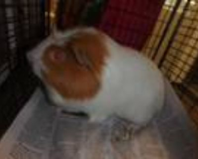 Adopt MR CUTIE a White Guinea Pig / Mixed small animal in Van Nuys