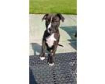 Adopt Link a Pit Bull Terrier, Mixed Breed