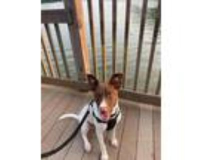 Adopt GEMINI a White - with Brown or Chocolate Pointer / Mixed dog in