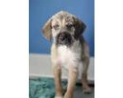 Adopt Mako a Brown/Chocolate Terrier (Unknown Type, Small) / Mixed dog in