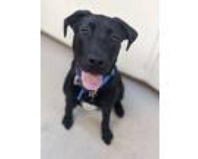 Adopt Finn a Labrador Retriever, Great Dane