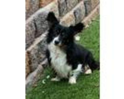 Adopt Rummy a Corgi / Papillon / Mixed dog in Denver, CO (32000751)