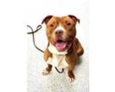 Adopt Tate a Pit Bull Terrier