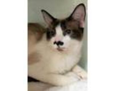 Adopt Pollux a Cream or Ivory Siamese / Domestic Shorthair / Mixed cat in