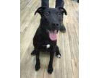 Adopt Kenzi (FKA Fiona) a Black Labrador Retriever / Mixed dog in Philadelphia
