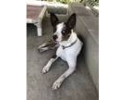 Adopt Atom (Foster Care) a Jack Russell Terrier
