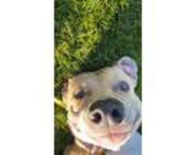 Adopt King a Pit Bull Terrier