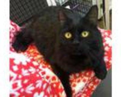 Adopt Kokomo a All Black Domestic Longhair / Domestic Shorthair / Mixed cat in