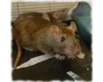 Adopt HAZEL a White Rat / Rat / Mixed small animal in Slinger, WI (32065814)