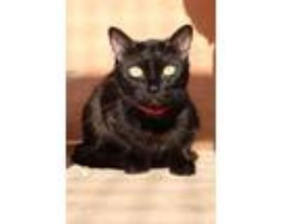 Adopt Working Cat - Rizo a Domestic Shorthair / Mixed cat in Albuquerque