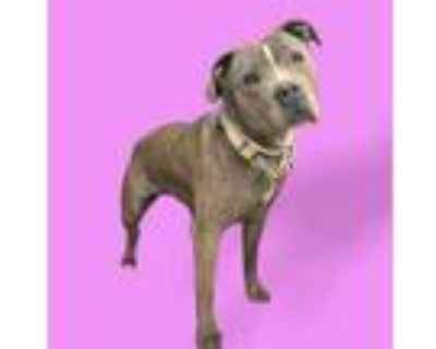 Adopt CHASTITY a Brindle American Pit Bull Terrier / Mixed dog in Lancaster