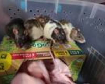 Adopt The Cheese Girls a Rat