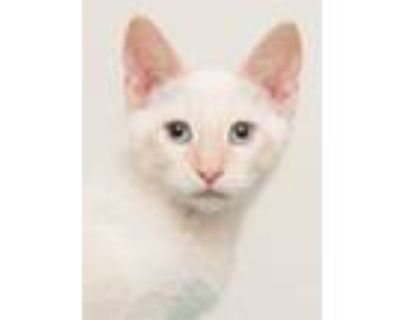 Adopt Amarillo (gets adopted with Mesquite) a Siamese