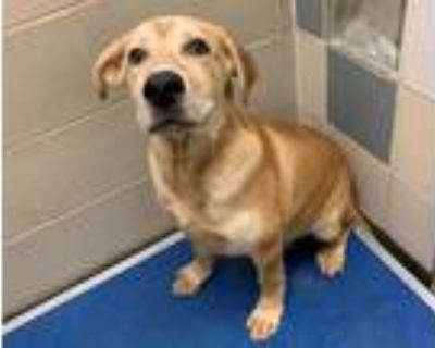Adopt DEXTER a Tan/Yellow/Fawn - with White German Shepherd Dog / Mixed dog in