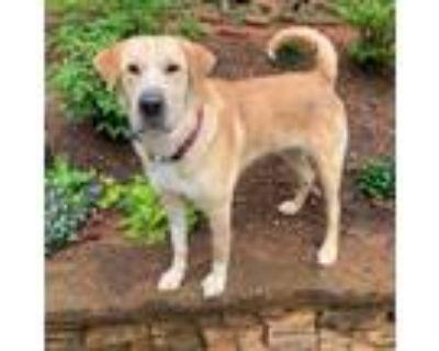 Adopt Gabriel a Labrador Retriever / Shar Pei dog in Atlanta, GA (31093191)