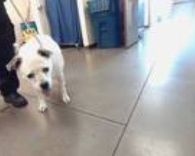Adopt PALOMA a White - with Tan, Yellow or Fawn Border Collie / Mixed dog in