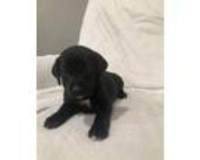 Adopt AMELIA (ORANGE COLLAR) a Labrador Retriever / Redbone Coonhound / Mixed