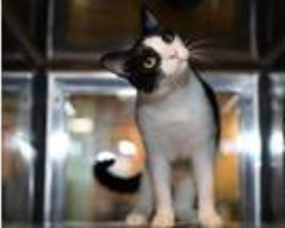 Adopt Lucy Lou a All Black Domestic Shorthair / Domestic Shorthair / Mixed cat