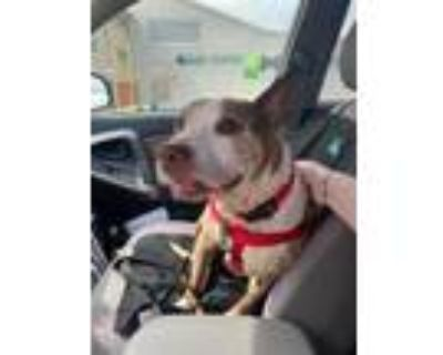 Adopt MY LITTLE PONY a Brown/Chocolate - with White American Pit Bull Terrier /