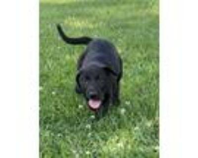 Adopt Mulligan a Black Labrador Retriever